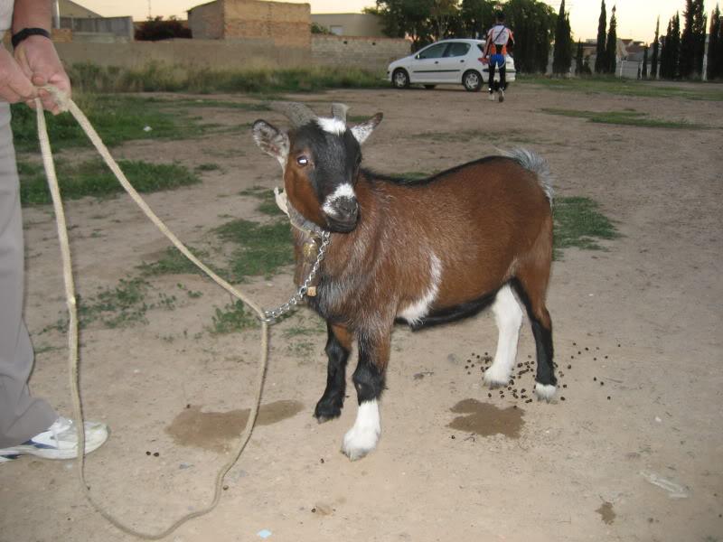 Primera aparición de la cabra